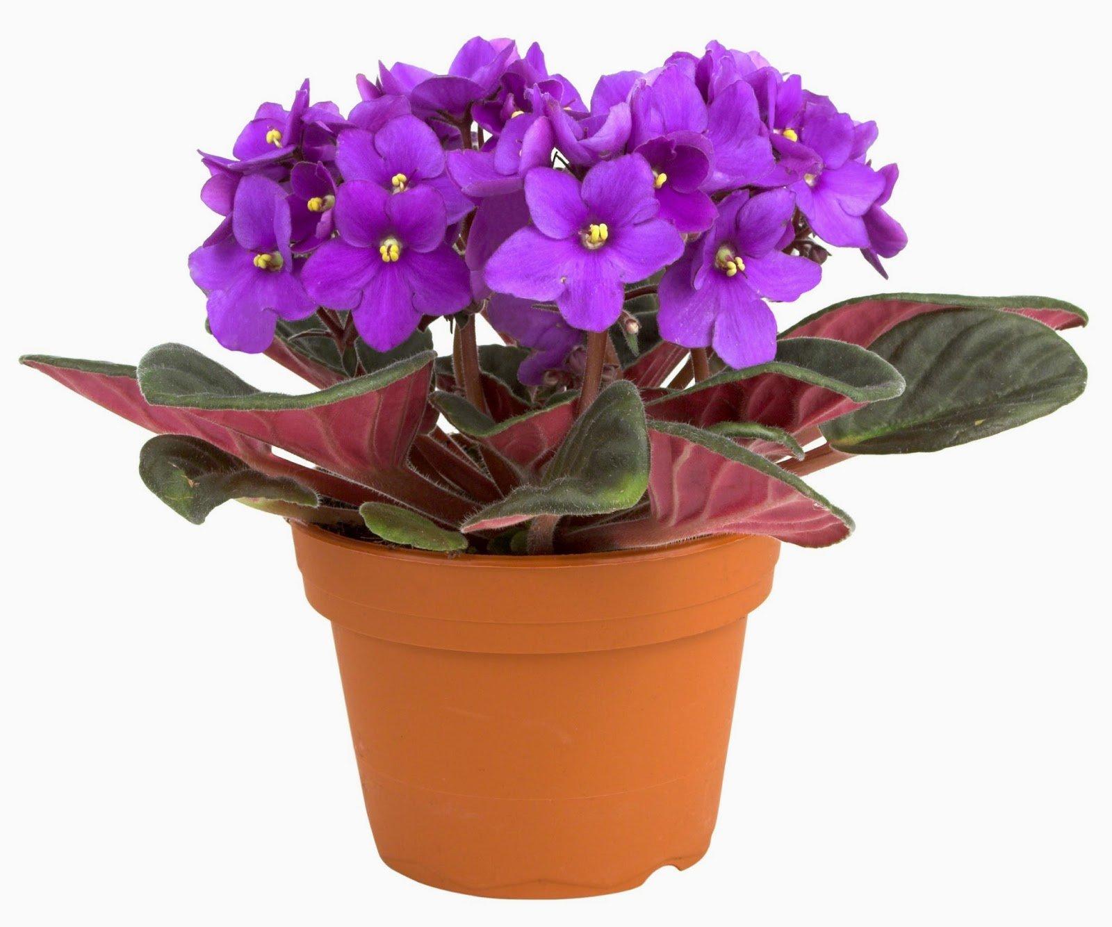 Цветы домашние фиалки фото их название