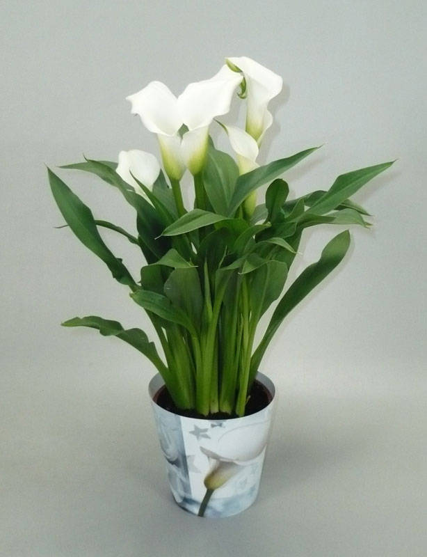 Фото комнатного цветка каллы белой